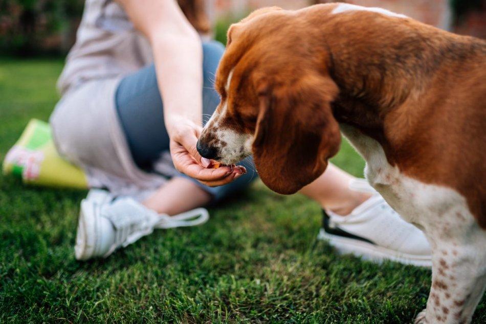 Человек угощает бигля собаку фото