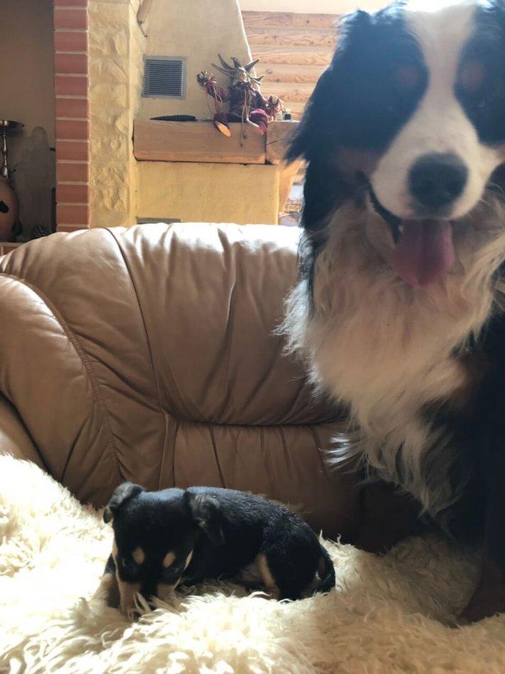 щенок, дом, диван, собака, бернский зенненхунд