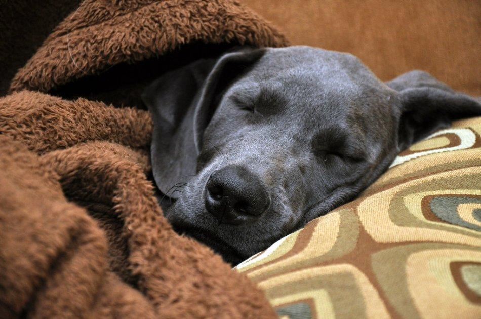 Серая собака спит под одеялом фото