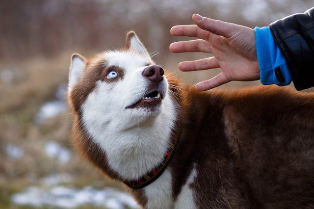 Человек протягивает руку к собаке хаски фото