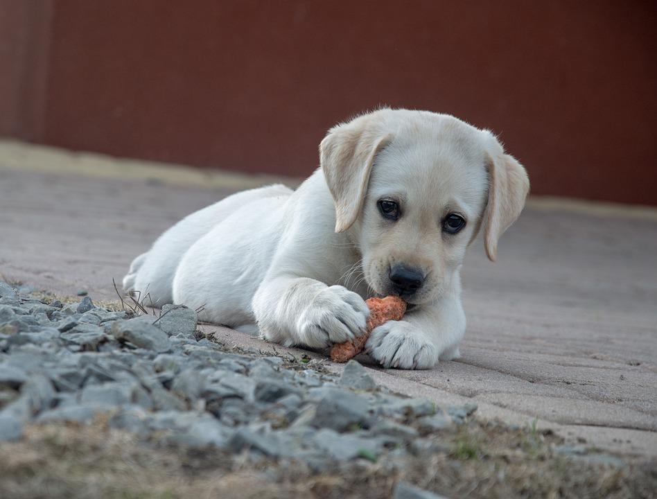 Щенок лабрадора жует морковку фото