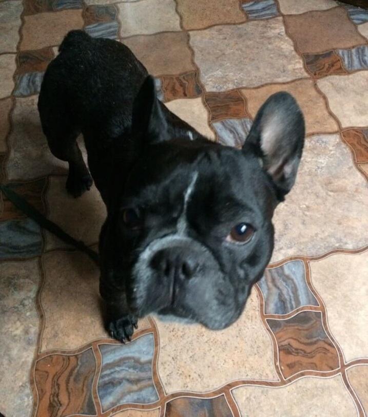 французский бульдог, дом, собака