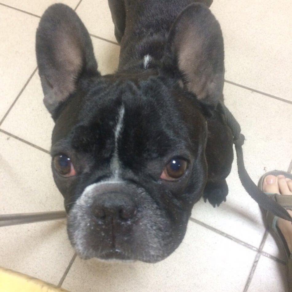 французский бульдог, собака, человек, нога