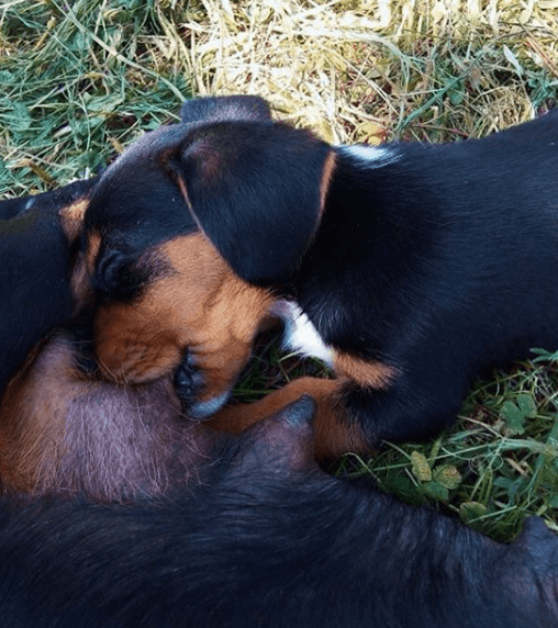 щенок таксы, кормление собак, улица