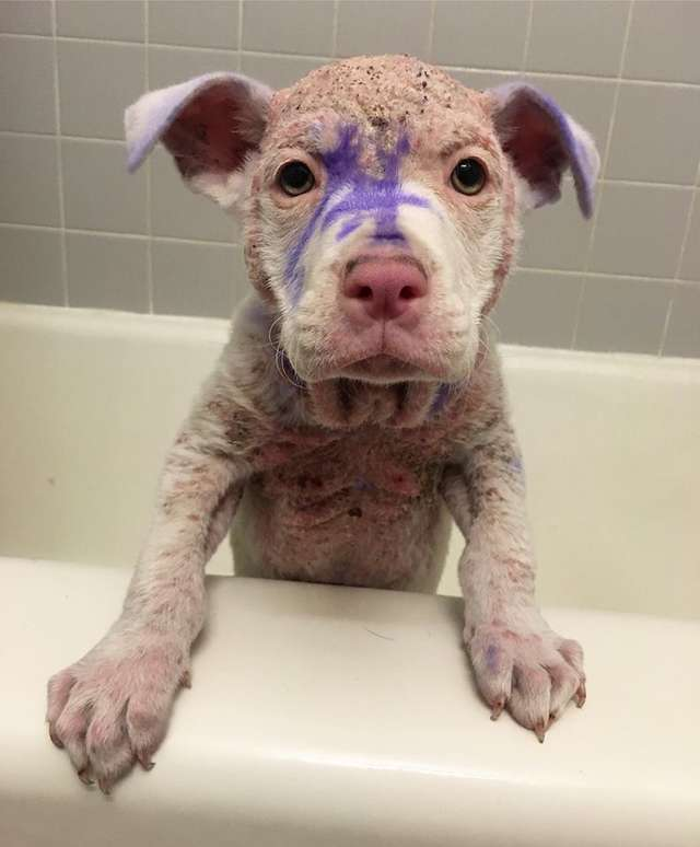 собака, домашний питомец, ванна, фиолетовые пятна