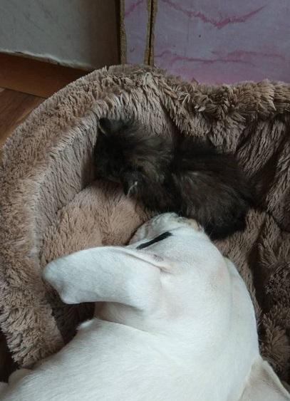 котенок, пес, лежанка, домашнее животное