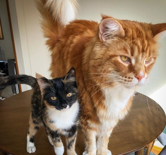 кошки, домашний питомец, стол