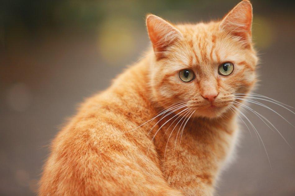 кошка, домашний питомец, животное