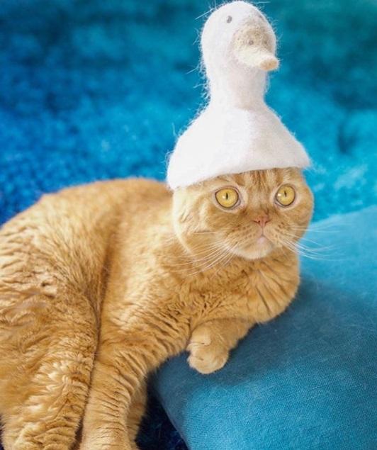 рыжий кот, шотландский, шапка