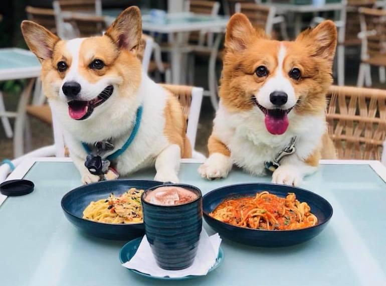 Собаки корги за столиком в кафе фото