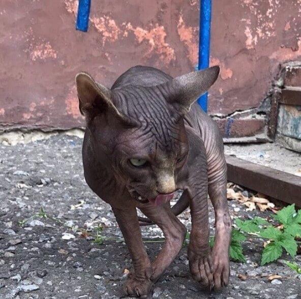 кошка, сфинкс, домашнее животное, улица