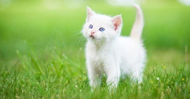 белый котенок, кошка, улица, трава, домашний питомец