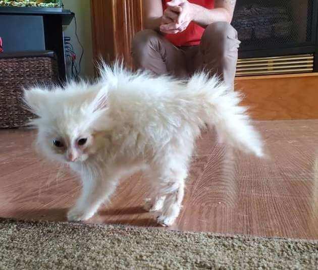 котенок, шерсть дыбом, грозная кошка, дом, человек