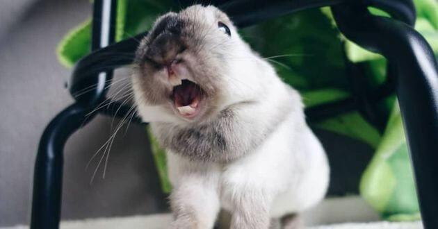 кролик зевает, домашнее животное