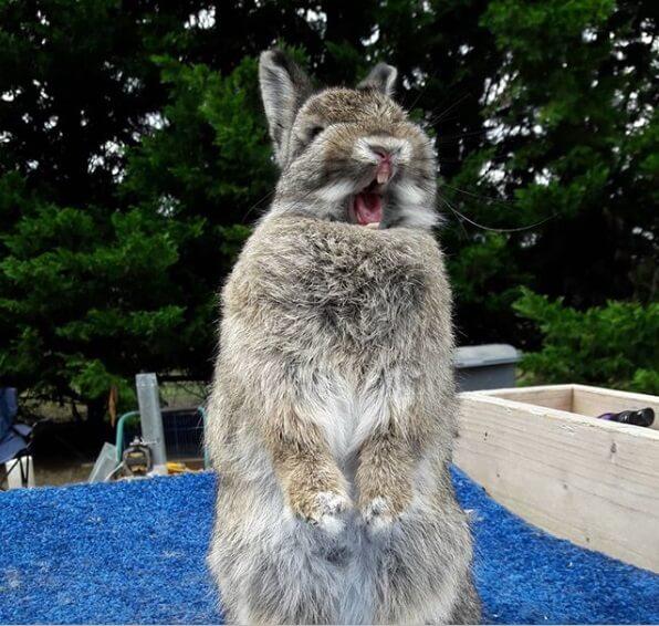 декоративный кролик, домашнее животное