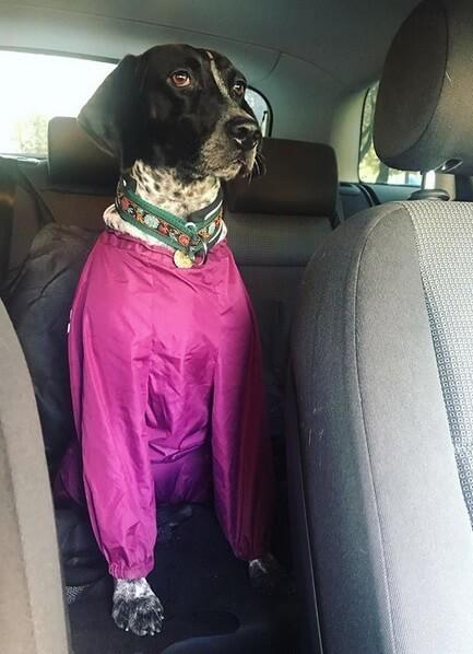 собака в машине, комбинезон для собаки, курцхаар