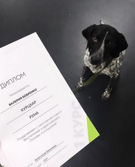 диплом, собака, курцхаар, дрессировка собак