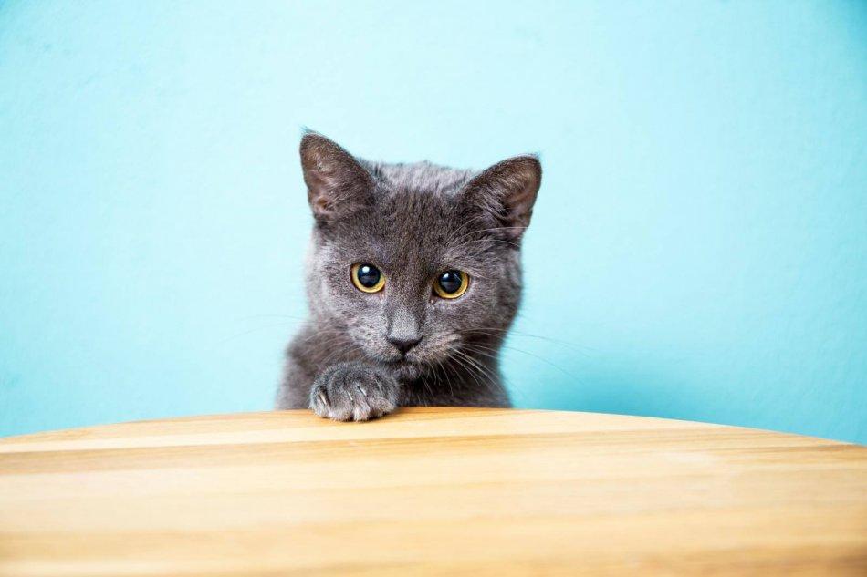 котенок, стол, домашнее животное