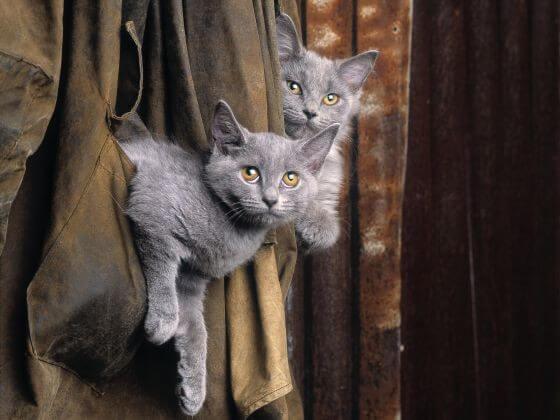 котята шартрез, шторы, голубая шерсть