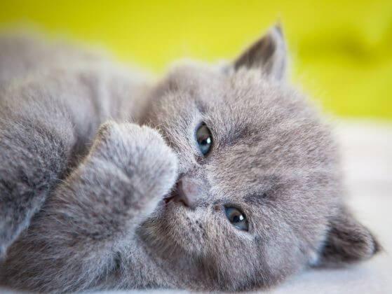 картезианский котенок, лапа кошки, кошка с голубой шерстью
