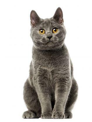 кошка породы шартрез, короткошерстная голубая кошка
