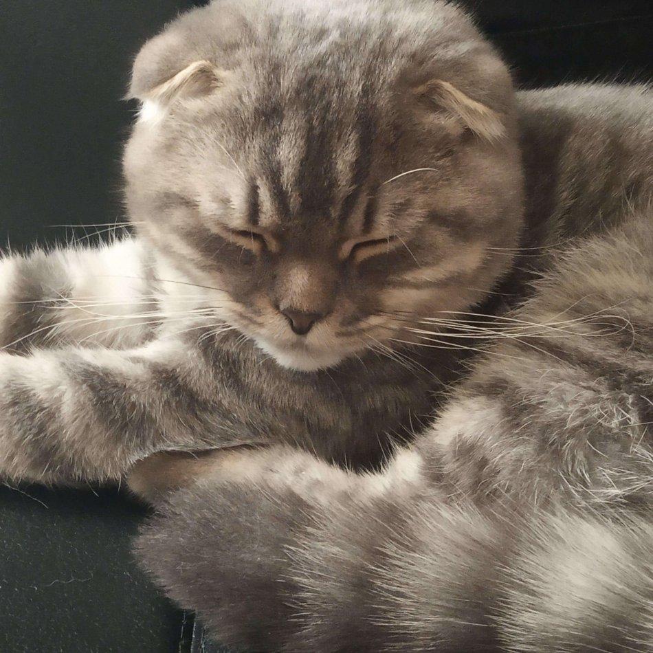 порода шотландская выслоухая кошка, домашний питомец