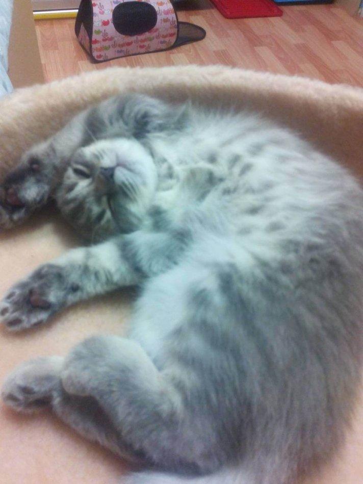 кошка, когтеточка, шотландская вислоухая