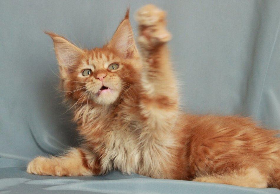 котенок мейн-кун, домашнее животное, кошка