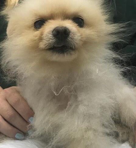 померанцкий шпиц, собака, домашнее животное