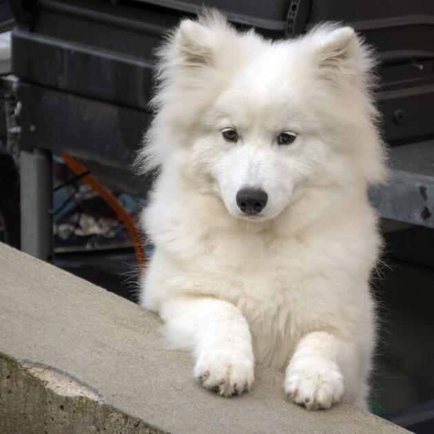 белая собака, самоед, лайка, животное