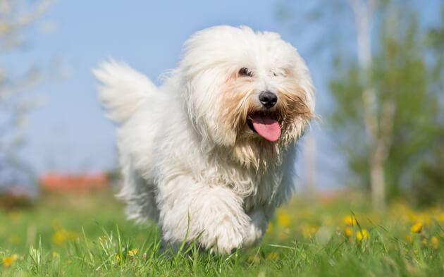 мальтийский бишон, мальтез, собака, питомец