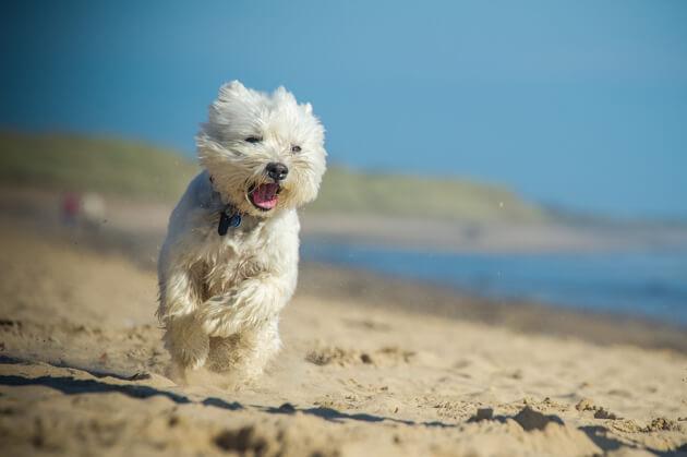 Вест-хайленд-терьер, белая собака, окрас белый