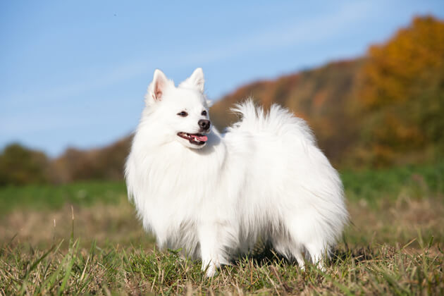 немецкий шпиц, белый окрас, собака