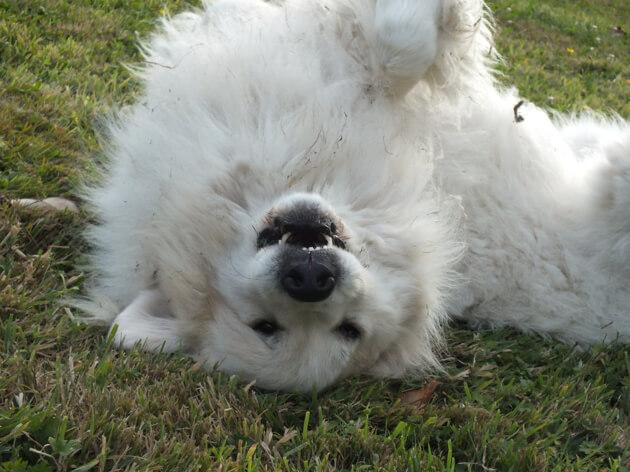 горная пиренейская собака, домашний питомец, белая собака
