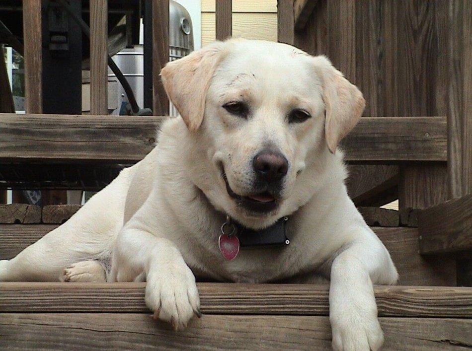 лабрадор, собака, домашний питомец