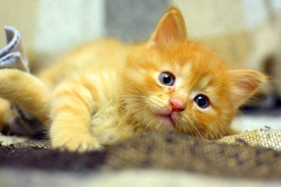 рыжий котенок, домашнее животное, питомец