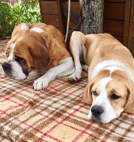 монастырский сенбернар, собаки, домашнее животное