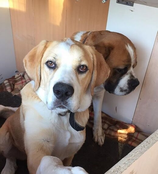 сенбернар, сторожевая собака, домашний питомец