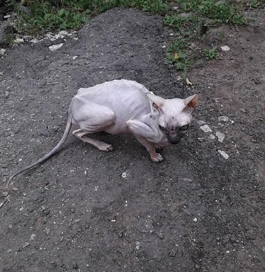 кошка, сфинкс, улица