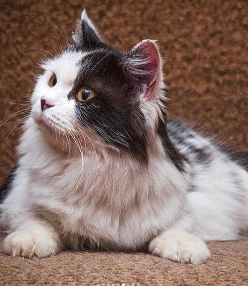 пушистая кошка, животное, дом