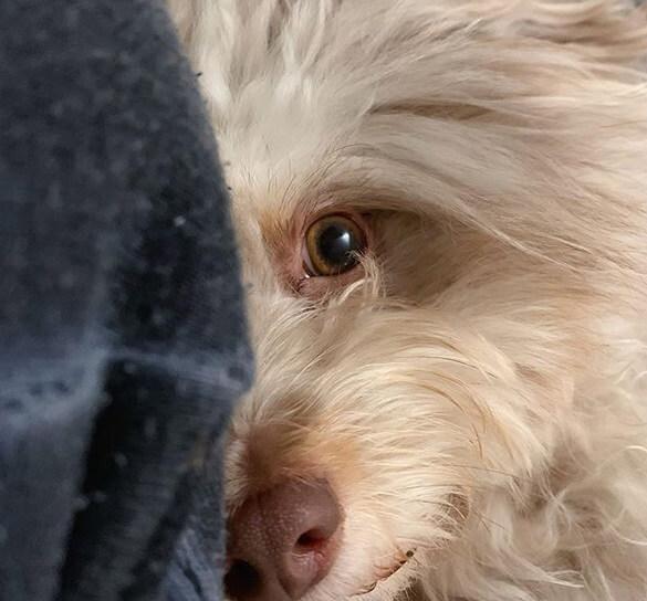собака, домашний питомец, терьер