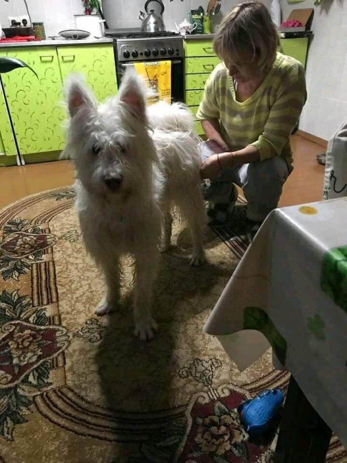 собака в доме, кухня, женщина, пес, метис самоеда и терьера