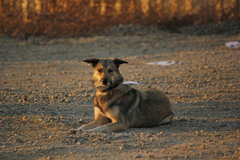 дворняжка, дворняга, метис, Серая собака, собака лежит, собака фото, собака на улице