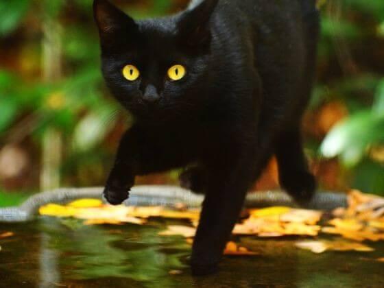 черный кот, лужа, осень, листья