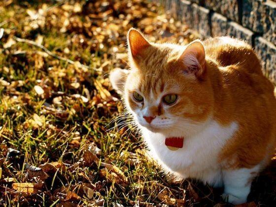 рыжий кот, осень, листья, грусть, хандра