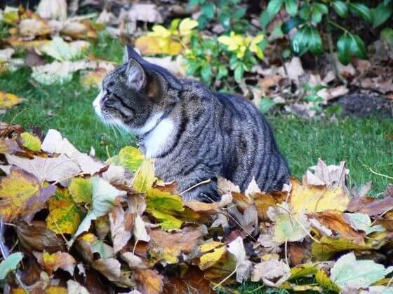 кот в листьях, домашнее животное, улица, осень, листья