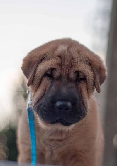 шарпей, щенок, собака, домашнее животное