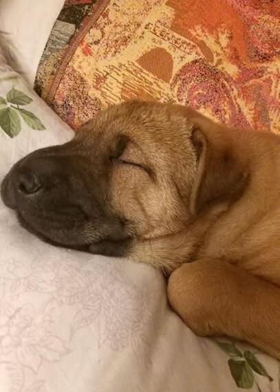 щенок, постель, шарпей, собака спит, домашнее животное