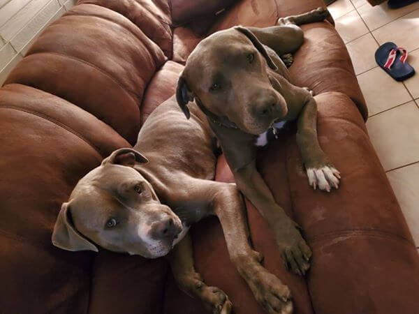диван, собаки, дом, питбуль, питомец