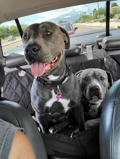 машина, собаки, дорога, питбули серые